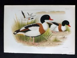 Baker & Gronvold Indian Ducks 1908 Antique Bird Print. The Sheldrake